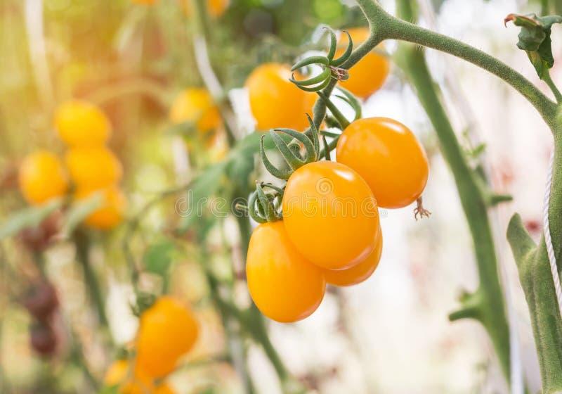 Schließen Sie herauf gelbe Kirschtomaten im Biohof stockfoto