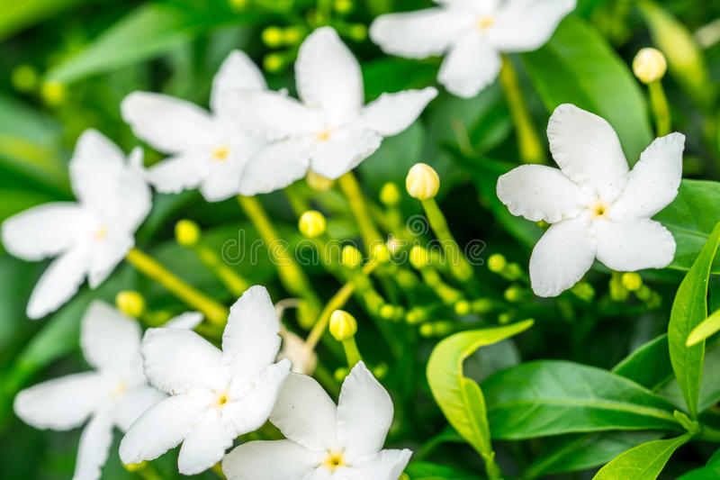 Schließen Sie herauf Gerdenia-Krepp-Jasmine Gardenia-jasminoides, weiße Blumen stockfoto