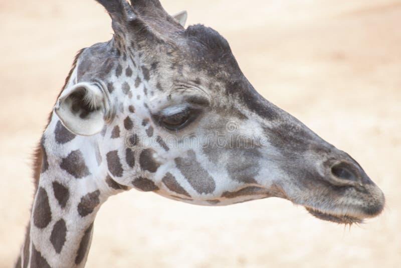 Schließen Sie herauf Giraffenkopf stockfotos