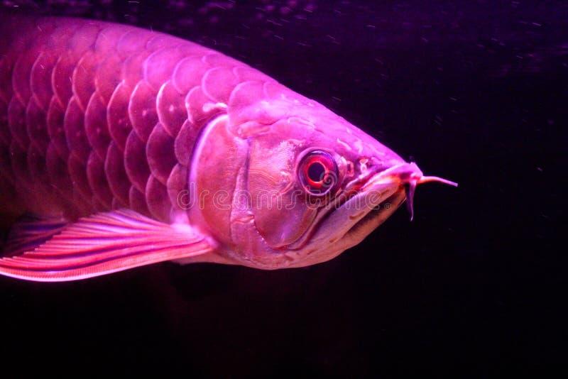 Schließen Sie herauf goldene rote Endstück Arowana-Fische, die auf schwarzem Hintergrund lokalisiert werden lizenzfreies stockbild