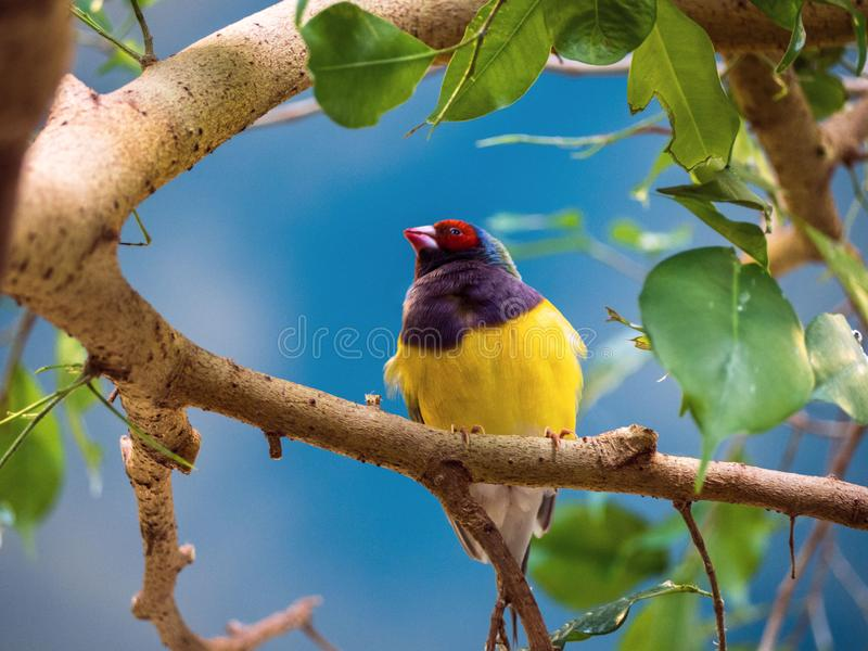 Schließen Sie herauf Gouldian-Fink, Erythrura-gouldiae, rotes schwarzes Gesicht, der Vogel, der an eine Niederlassung gehangen wi lizenzfreie stockfotografie