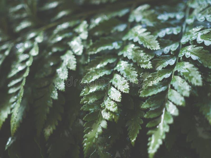 Schließen Sie herauf grünes Farnblatt mit Wassertropfen für Hintergrund lizenzfreies stockbild