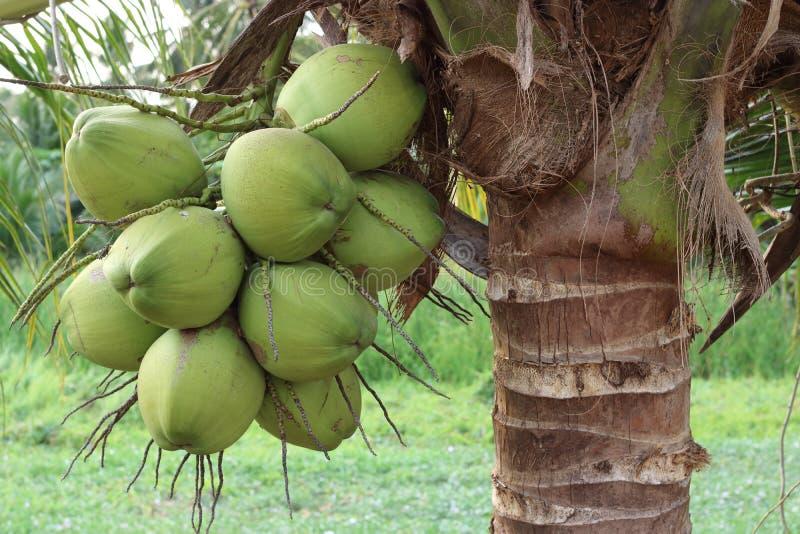 Schließen Sie herauf Gruppen von frischen Kokosnüssen auf Naturhintergrund stockfoto
