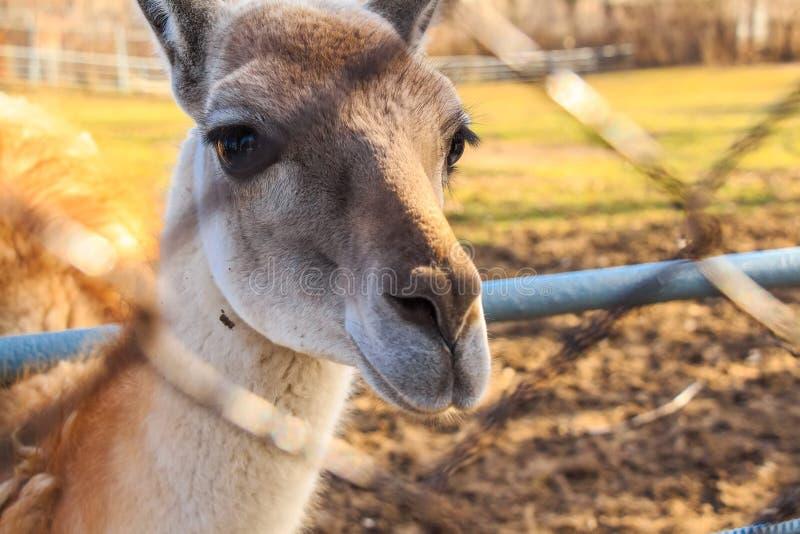 Schließen Sie herauf junges Lama im Zoo lizenzfreie stockfotos