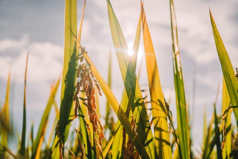 Schließen Sie herauf junges Spitzenohr des Reisanbaus auf dem Plantagenpaddygrüngebiet stockbilder