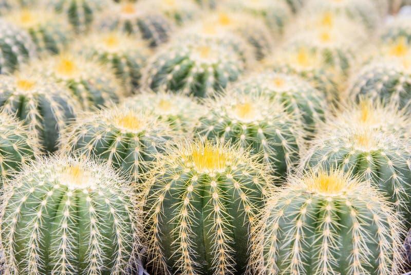 Schließen Sie herauf Kaktus lizenzfreie stockfotografie
