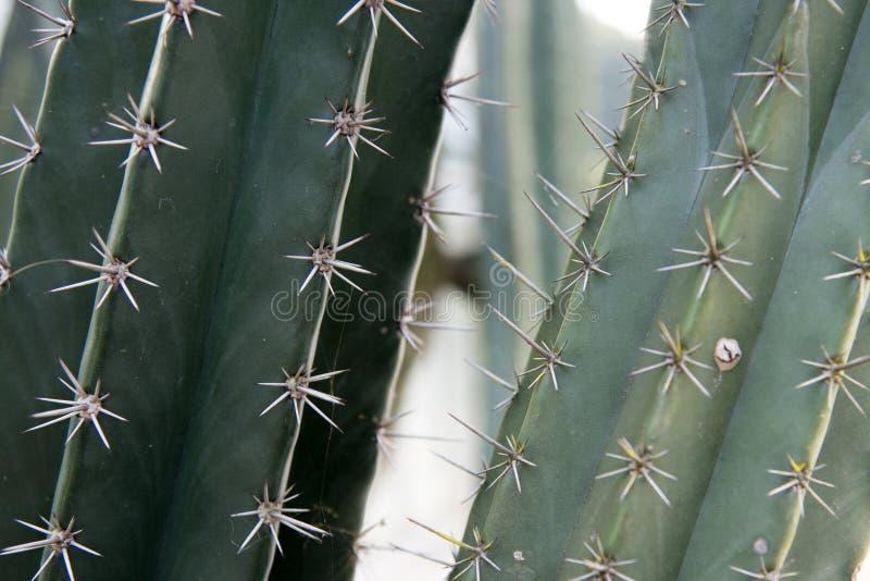 Schließen Sie herauf Kaktusstamm mit Dornennatur-Zusammenfassungshintergrund stockfotografie