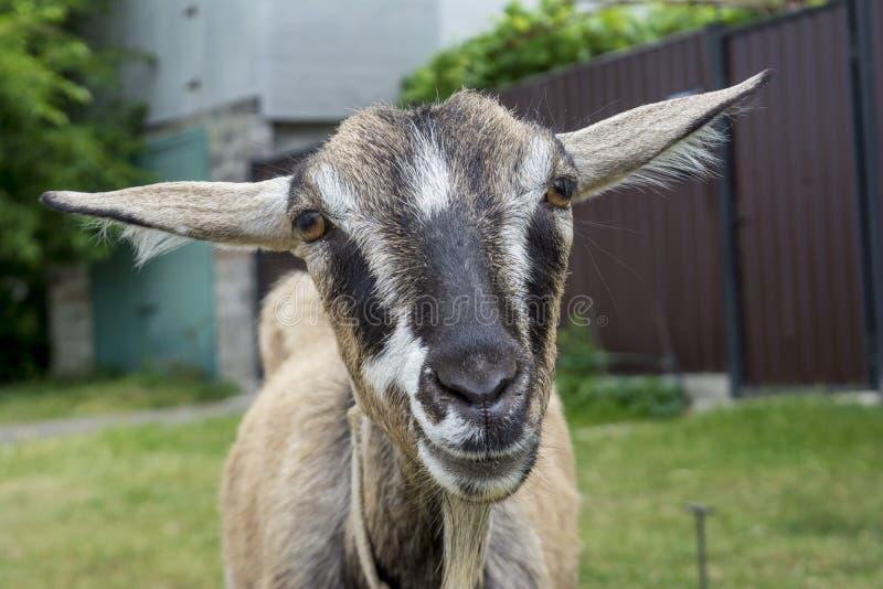 Schließen Sie herauf kleine graue Ziege des Porträts am Yard im Dorf stockfoto