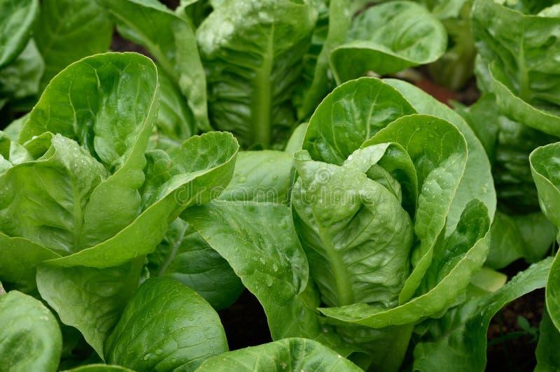 Schließen Sie herauf kleinen Gem Romaine Lettuce lizenzfreies stockbild
