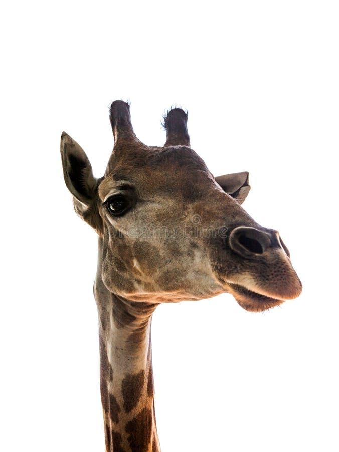 Schließen Sie herauf Kopf des Giraffe lokalisierten weißen Hintergrundes stockfotografie