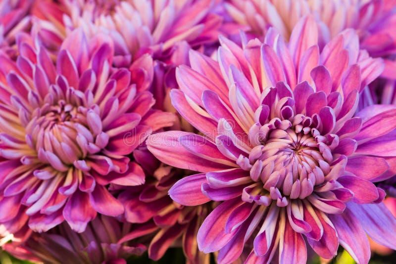 Schließen Sie herauf Lavendel und rosa Mamas lizenzfreie stockfotografie