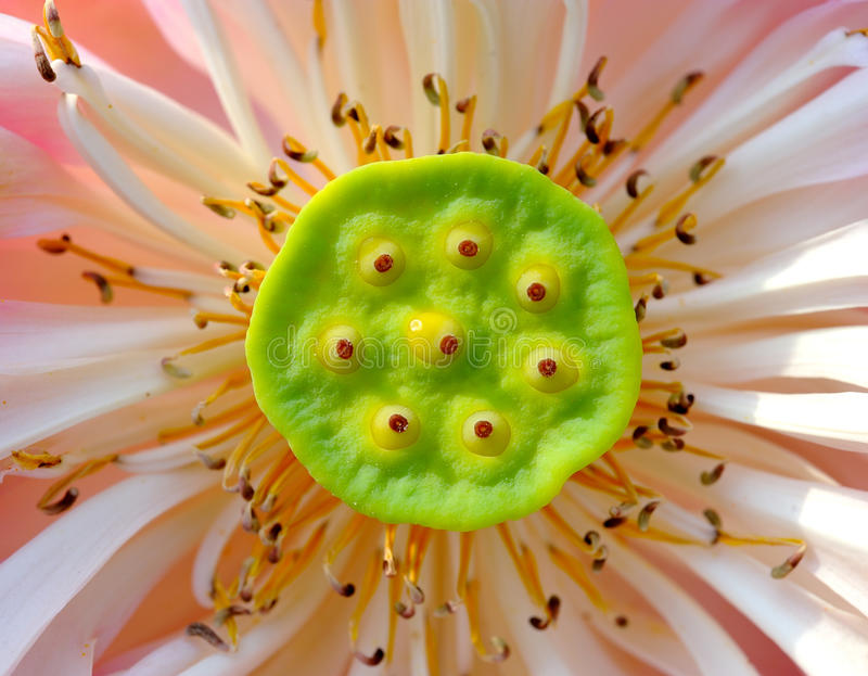 Schließen Sie herauf Lotosblume lizenzfreies stockbild