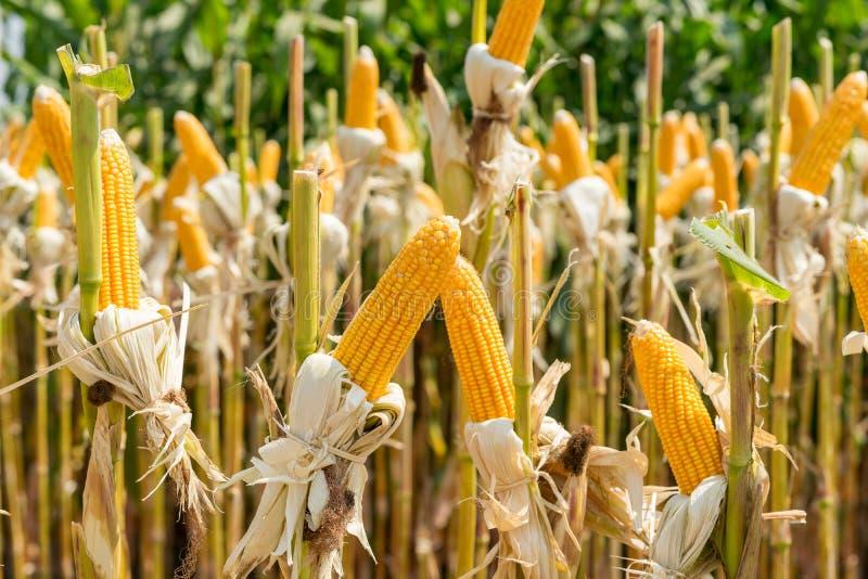 Schließen Sie herauf Maisfeld auf Ernteanlage für das Ernten lizenzfreie stockbilder