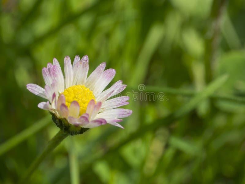 Schließen Sie herauf makro kleinen Gänseblümchen Bellis perennis Blumenrosa-Blumenblattesprit stockbild