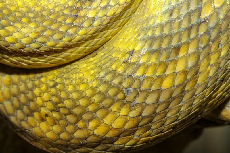 schließen Sie herauf Moluccan Pythonschlangenschlangenhaut lizenzfreies stockfoto