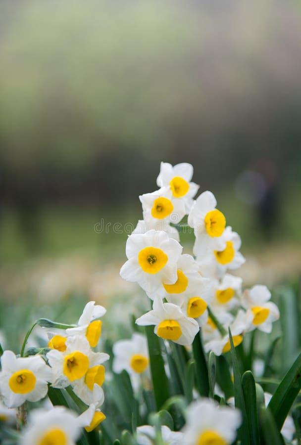 Schließen Sie herauf Narzissenblumen lizenzfreie stockfotos