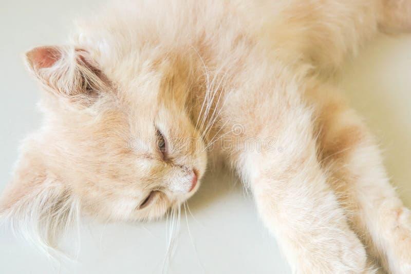 Schließen Sie herauf nettes junges schläfriges Gesicht der persischen Katze lizenzfreies stockfoto