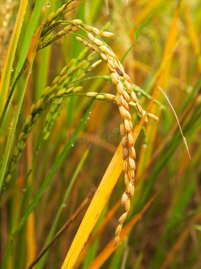 Schließen Sie herauf peddy Reis lizenzfreies stockbild
