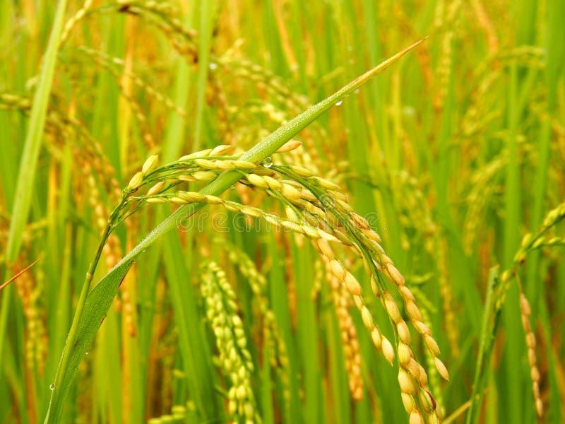 Schließen Sie herauf peddy Reis stockfotos