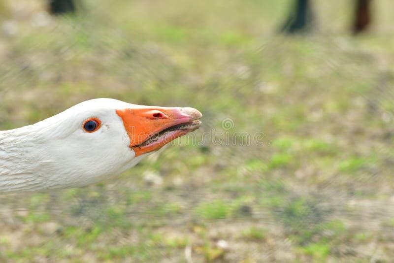 Schließen Sie herauf Porträt des Blickkopfes mit dem orange Schnabel stockbilder