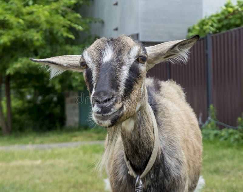 Schließen Sie herauf Porträt einer grauen jungen Ziege, die in camera im Dorf schaut lizenzfreie stockbilder