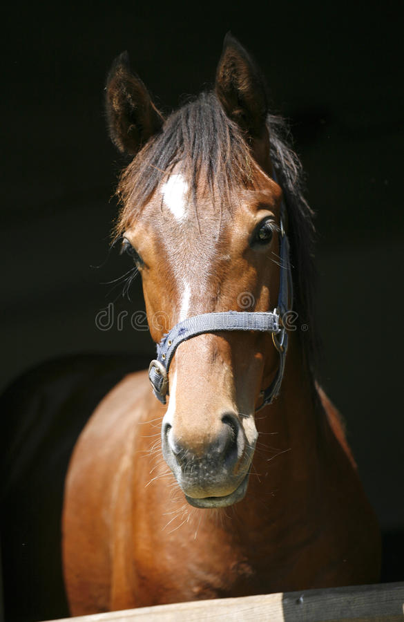 Schließen Sie herauf Porträt eines reinrassigen Pferd-` s Kopfes lizenzfreie stockfotografie