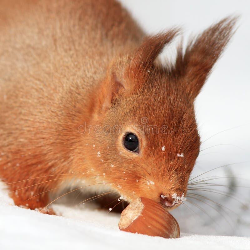 Rotes Eichhörnchen im Schnee lizenzfreie stockfotografie