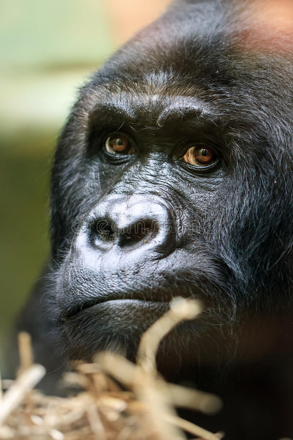 Schließen Sie herauf Porträt Gorilla lizenzfreie stockfotografie