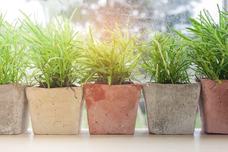 Schließen Sie herauf Reihe wenigen grünen Baums im Tongefäß auf Holztisch neben schmutzigem Fensterglas mit Sonnenlicht im Hinter lizenzfreie stockfotografie