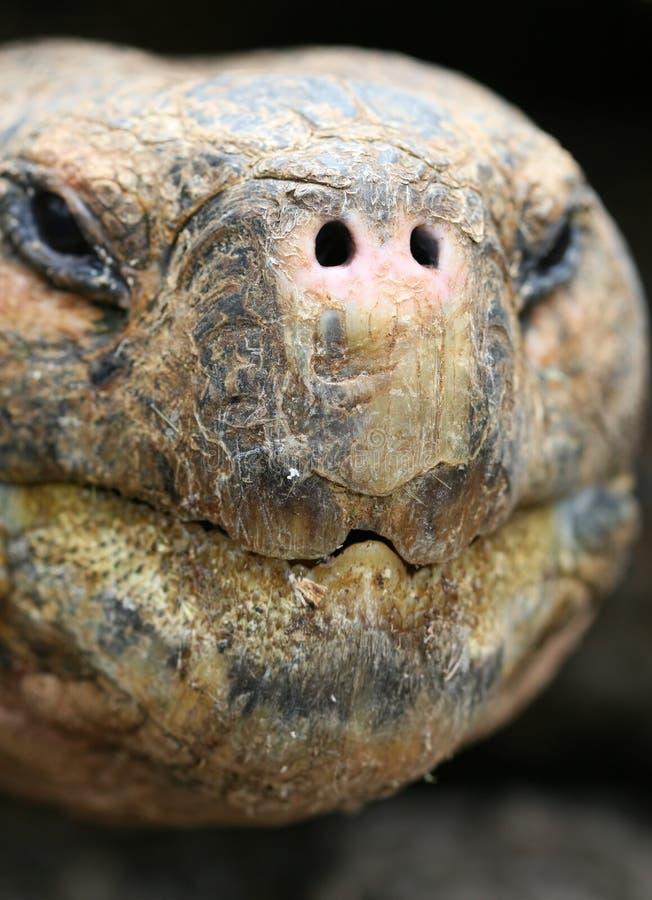 Schließen Sie herauf riesige Galapagos-Schildkröte stockfoto