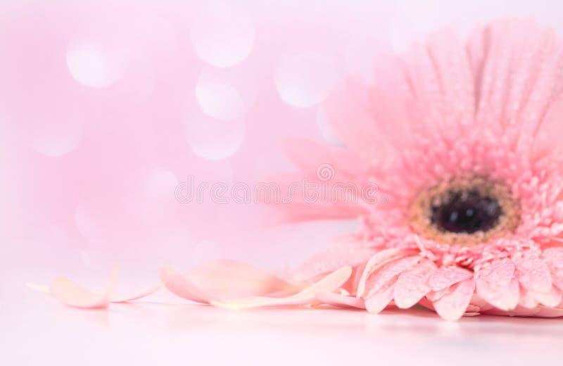 Schließen Sie herauf rosa Blumenblatt Gerberablume, Weichheit und selektives focu stockbild