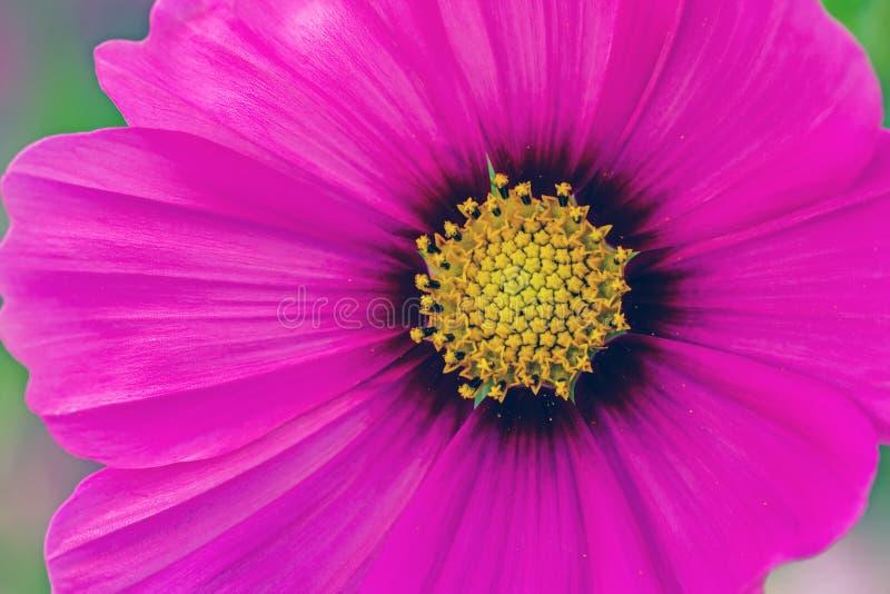 Schließen Sie herauf rosa Gebrauch der Kosmosblume (Kosmos Bipinnatus) für backgrou stockfotografie