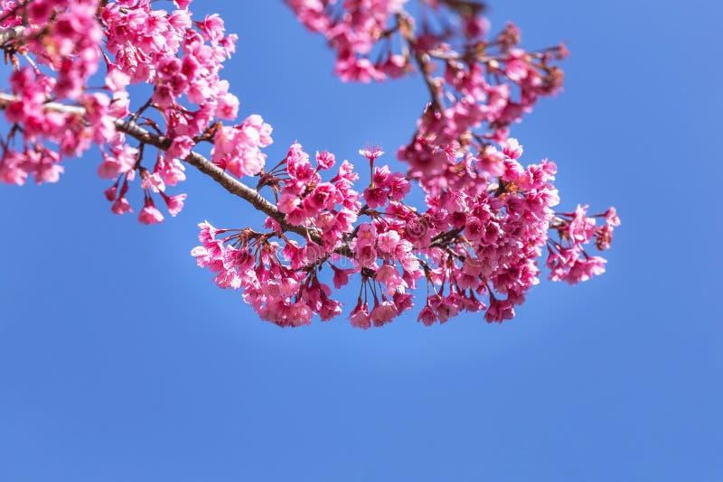 Schließen Sie herauf rosa Kirschblüte-Blumen oder Kirschblüte, die auf Baum mit blauem Himmel blühen lizenzfreie stockfotografie