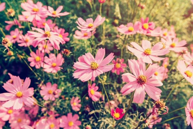 Schließen Sie herauf rosa Kosmosblumen auf Feld mit Sonnenlicht, Weinlese fil lizenzfreie stockfotos