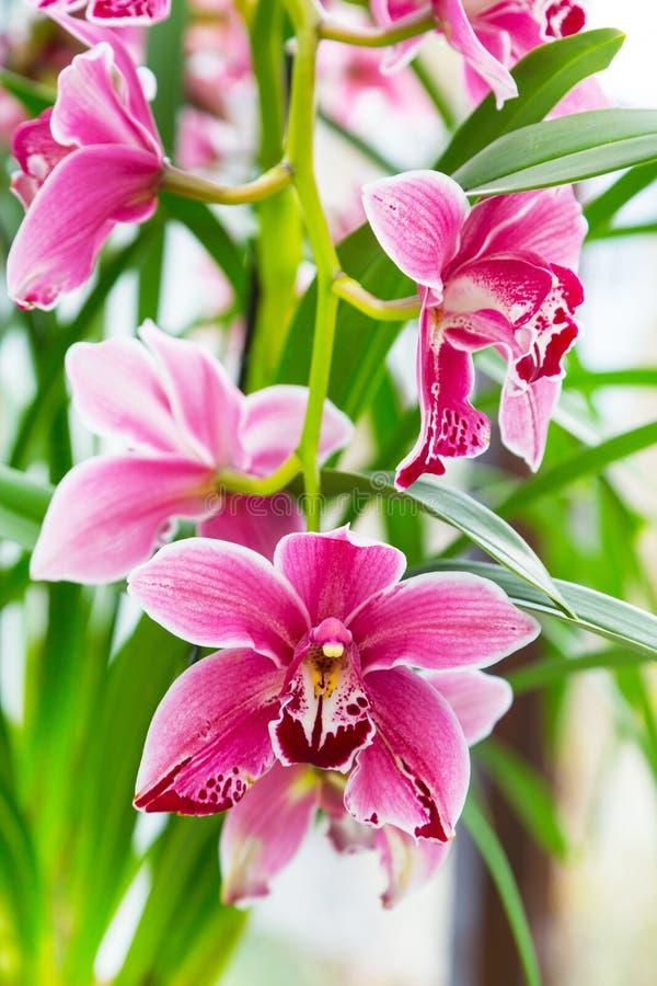 Schließen Sie herauf rosa, purpurrotes und weißes Orchideenblumenniederlassungs-Hintergrundmakro lizenzfreie stockfotografie