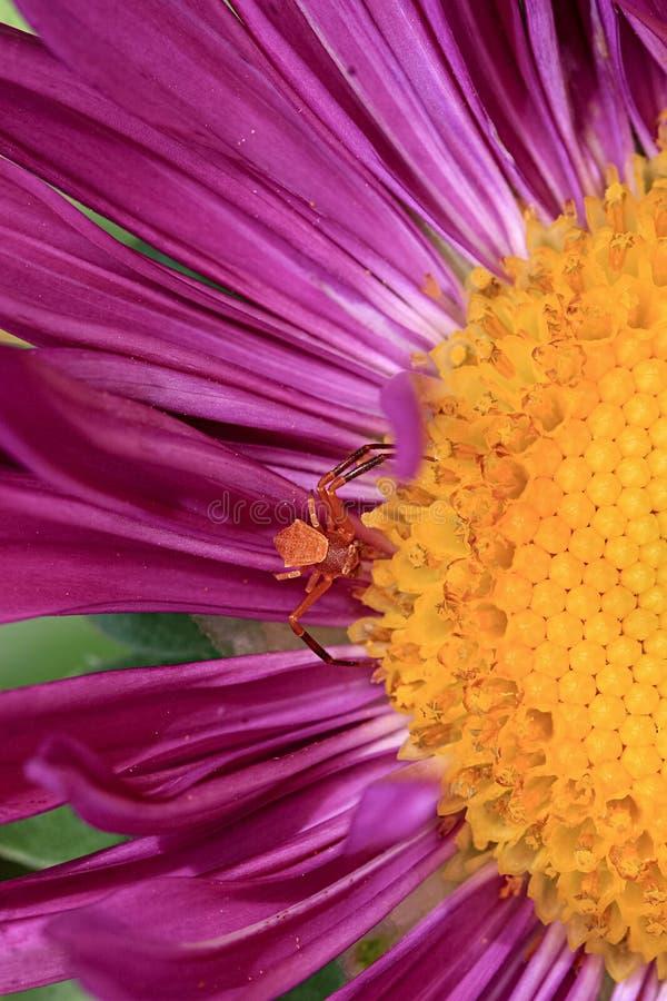 Schließen Sie herauf rote Spinne Kleine Krabbenspinne auf purpurroter Blume lizenzfreie stockbilder