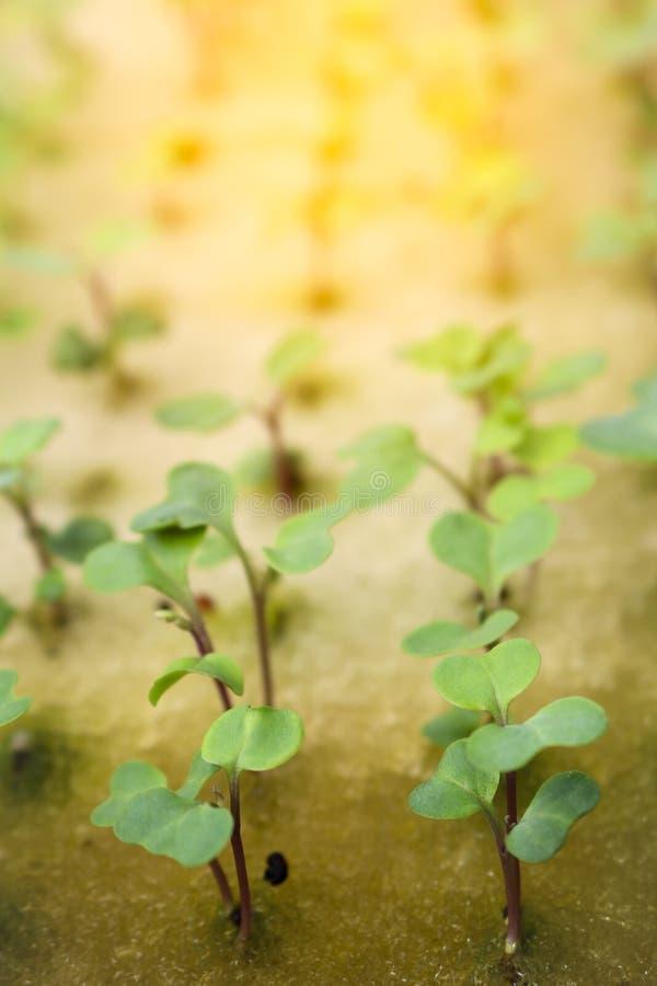 Schließen Sie herauf Sämlingskohl auf Schwamm für Samen lizenzfreie stockfotos
