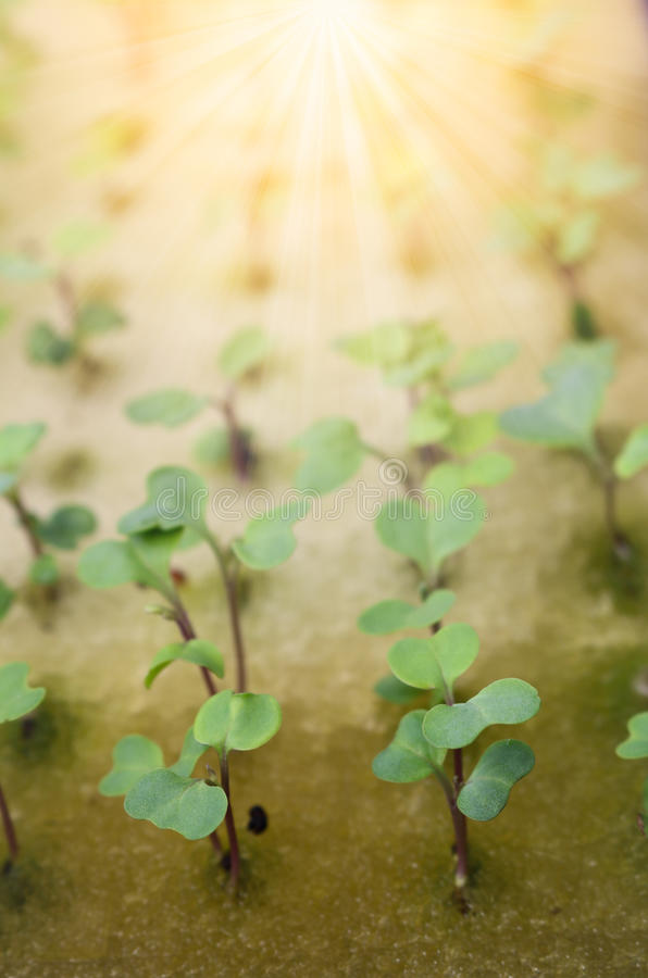 Schließen Sie herauf Sämlingskohl auf Schwamm für Samen mit Sonnenlicht lizenzfreie stockfotos