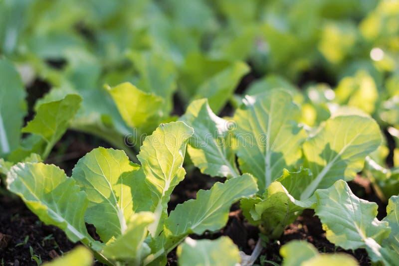 Schließen Sie herauf Sämlingskopfsalat mit dem Sonnenlicht, das im Garten wächst lizenzfreie stockfotografie