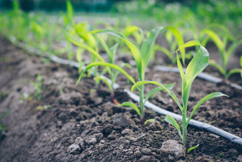 Schließen Sie herauf Sämlingsmaiswachstum im Feldbetriebslandwirtschaftsbauernhof lizenzfreie stockfotografie