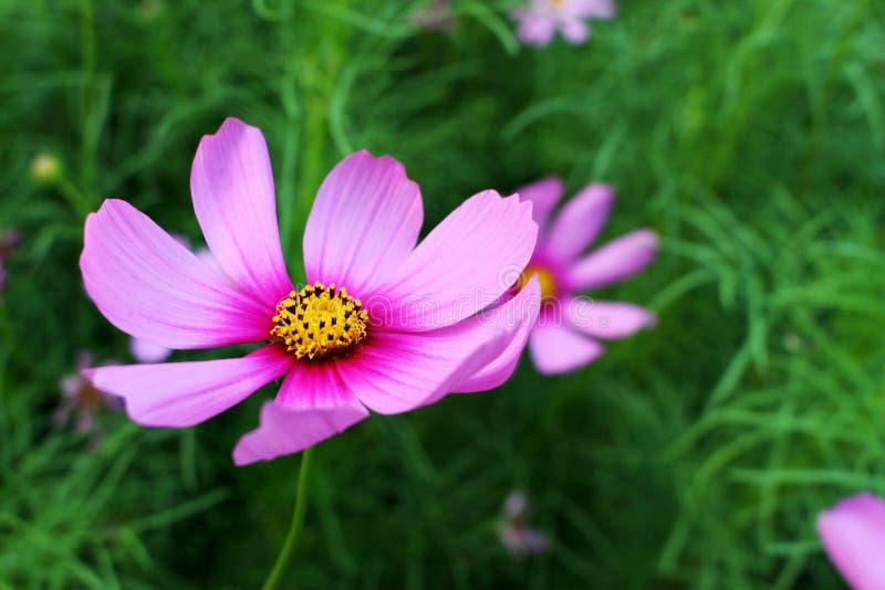 Schließen Sie herauf schöne große rosa Farben von Kosmos-Blumen im Naturpark lizenzfreies stockfoto