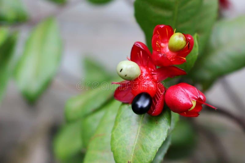 Schließen Sie herauf schöne kleine Beere und kleine Blumen auf Unschärfegrün-Blatthintergrund im Naturpark in Bangkok Thailand stockbild