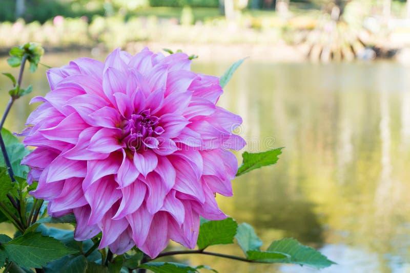 Schließen Sie herauf schöne rosa Dahlienblumenblüten- und -GRÜNblätter neuer natürlicher mit Blumenhintergrund stockfotos