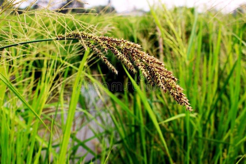 Schließen Sie herauf schönes grünes Gras auf grünem Paddy und grünem Blatt lizenzfreie stockfotos