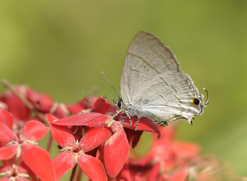 Schließen Sie herauf Schmetterling auf roter Blume stockfoto