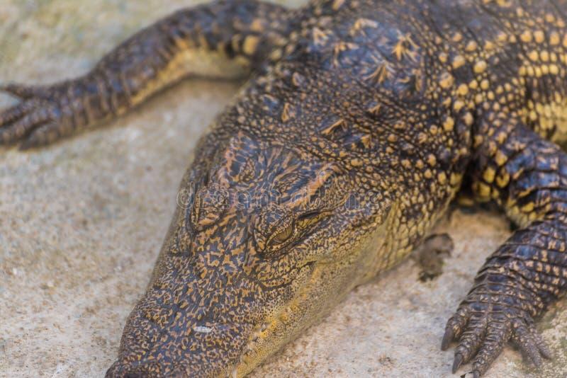schließen Sie herauf Schuss des Krokodilkopfes stockfoto