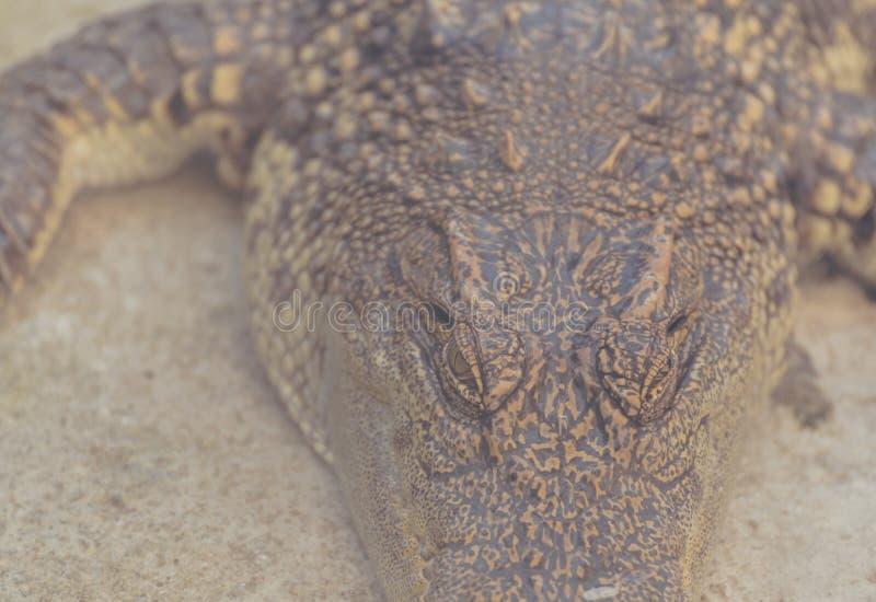 schließen Sie herauf Schuss des Krokodilkopfes stockfotos