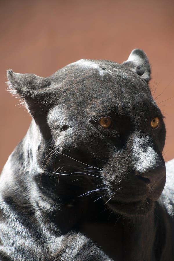 Schließen Sie herauf Seitenporträt des schwarzen Jaguarpanthers stockfotografie