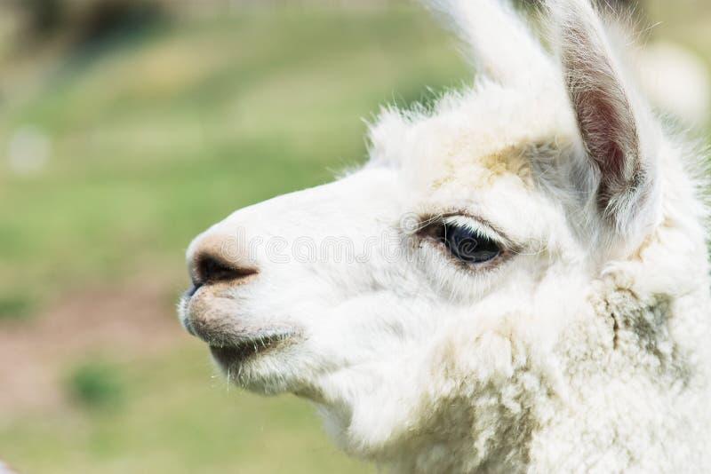 Schließen Sie herauf Seitenprofil eines weißen Lamas stockfoto