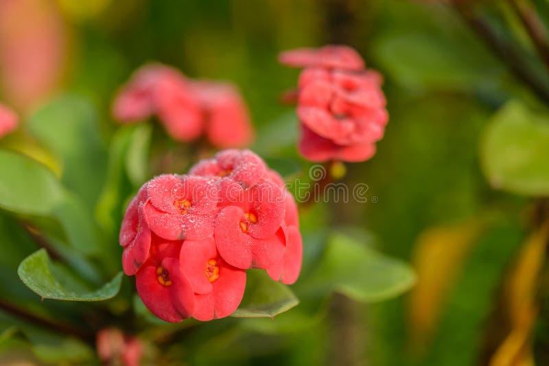 Schließen Sie herauf Sonnentaus auf roten Blumen Poi Sian lizenzfreie stockfotografie